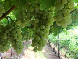 uva-vite-vitigno-by-cristiano-spadoni-agronotizie-750