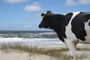 vacca-al-mare-marittima-by-bovino-bovini-benessere-animale-sostenibilita-sinnbild-fotolia-750