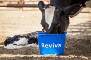 vacca-bovini-reviva-terzo-articolo-dic-allevatori-top