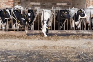 vacca-da-latte-mucca-stalla-allevamento-zootecnia-750