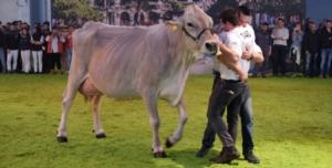 vacca-razza-bruna-fonte-fieragricola-20161026