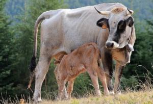 vacca-vitello-razza-garfagnina-by-elio-bechelli-jpg