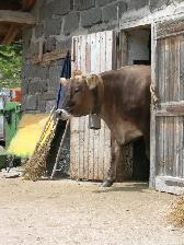 vacca_bruna_sulla_porta