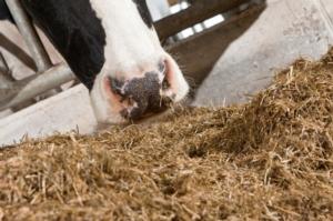 vacche-muso-vacc-fonte-nutreco-redazionale-8
