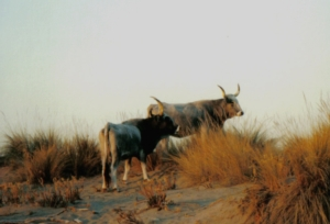 vacche-razza-maremmana-by-vinattieri-matteo-wikimedia-jpg