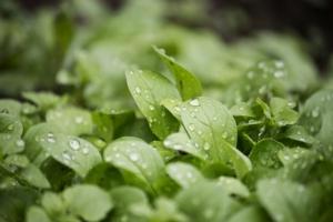 Valerianella, orticola da IV gamma in crescita - Plantgest news sulle varietà di piante