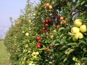 variabilita-colore-frutti-mele-fonte-fem