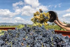 La vite da vino e da uva da tavola secondo Unimer