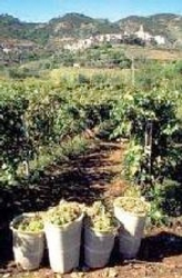 vendemmia-vigneto-uva-vino