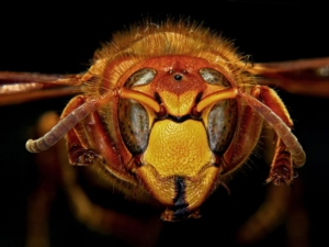 vespa-crabro-particolare-capo-by-h-zell-wikipedia-jpg