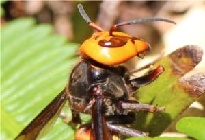 vespa-mandarinia-by-alpsdake-wikipedia-jpg