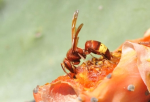 vespa-orientalis-calabrone-asiatico-by-zeynel-cebeci-wikipedia-jpg