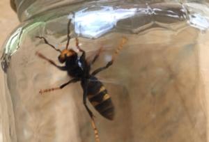 vespa-velutina-esemplare-by-toscana-miele-jpg