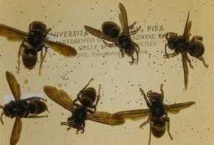 vespa-velutina-esemplari-scatola-entomologica-by-matteo-giusti-agronotizie-jpg