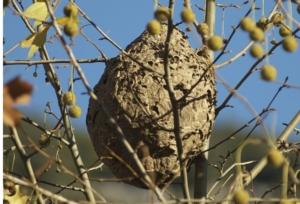 vespa-velutina-nido-albero-by-fredciel-wikipedia-jpg