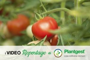 Pomodoro da mensa, qualità al centro del made in Italy - Plantgest news sulle varietà di piante