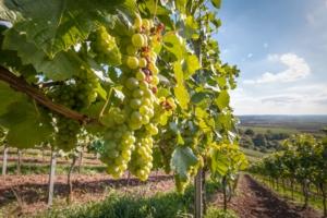 EVENTO ONLINE - Veneto, confermato l'anticipo per la vendemmia 2020 - Plantgest news sulle varietà di piante
