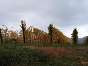 vigneto-autunno-by-matteo-giusti-agronotizie