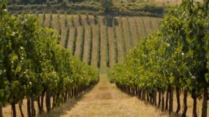 vigneto-filari-vite-novembre-2020-colli-romagnoli-fonte-agronotizie