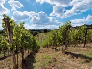 vino-ruffino-vigneto-vite-tenuta-toscana-fonte-ruffino