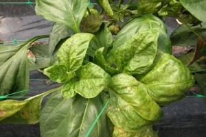Virosi ed orticole, un problema che si aggrava - Plantgest news sulle varietà di piante
