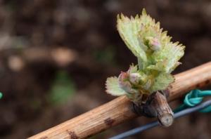 vite-germoglio-viticoltura-vitivinicoltura-by-antonina-dattola-adobe-stock-750x494