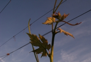 vite-tralcio-germoglio-primavera-by-mattei-giusti-agronotizie-jpg