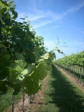 vite-uva-da-vino-tralci-inizio-estate-veneto-byil_cs