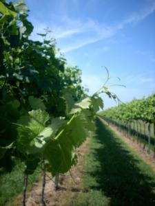 vite-uva-da-vino-tralci-inizio-estate-veneto-byilcs-700