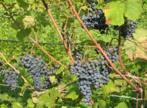 vite-uva-pianta-f22p09-ott-2020-fonte-fondazione-edmund-mach