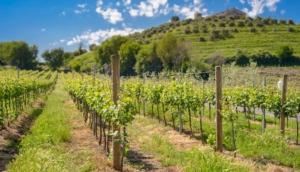 Le nuove strategie su vite da vino e vite da tavola