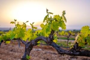 Umbria, 5,8 milioni per l'Ocm vino
