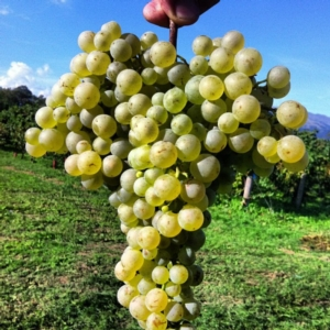 vite-vino-grappolo-prosecco-asolo-docg-biologico-by-belecasel-vini-e-spumanti