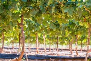 Nutrizione senza contaminanti: basta compromessi per Icl - le news di Fertilgest sui fertilizzanti