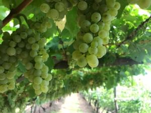 vite-viticoltura-vigneto-by-cristiano-spadoni-agronotizie-750