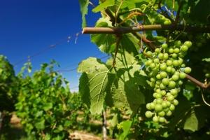 Anche l'Italia avrà la sua uva senza semi