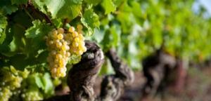 vite-vitigno-viticoltura-vigneto-by-thierry-ryo-adobe-stock-750x361