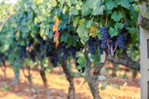 vite-vitivinicoltura-vitigno-grappoli-primitivo-manduria-puglia-by-anna-fedorova-adobe-stock-750x500