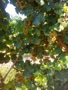 vitigno-vite-viti-resistenti-fleurtai-uva-fonte-veneto-agricoltura-mag-2021