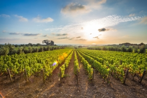 vitivinicoltura-vite-vigneto-bolgheri-by-davide-fotolia-750