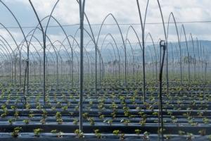 Planitalia, il vivaio preferito dai produttori di fragole meridionali - Plantgest news sulle varietà di piante