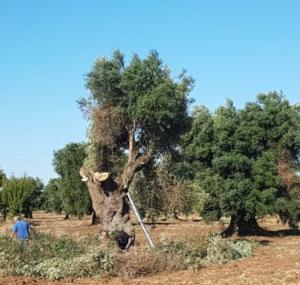 xylella-fastidiosa-abbattimenti-olivi-infetti-29ago19-fonte-coldiretti-puglia