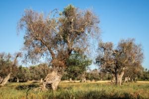xylella-fastidiosa-olivi-infetti-salento-by-cesare-palma-adobe-stock-750x500