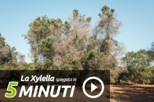 xylella-video