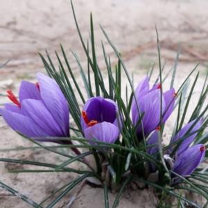 zafferano-fiori-rubrica-agroinnovatori-lug-2020-fonte-l-oro-rosso-del-pereo