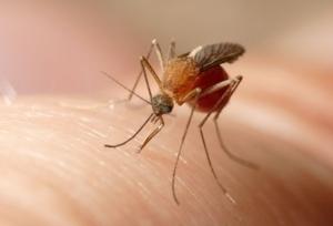 zanzara-culex-pipiens-by-urmas-tartes-wikimedia-jpg