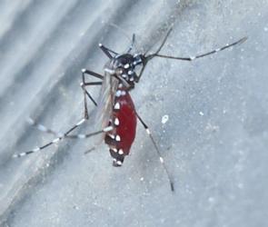 zanzara-tigre-sumitomo