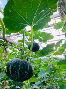 zucca-bonsai-zuccherissima-idroponica-verticale-rubrica-agroinnovatori-ott-2020-fonte-societa-agricola-fornari-di-fornari-giuseppe